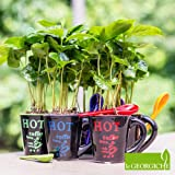 Coffea arabica (Pianta del Caffè) + tazza colorata [Vaso Ø6cm]