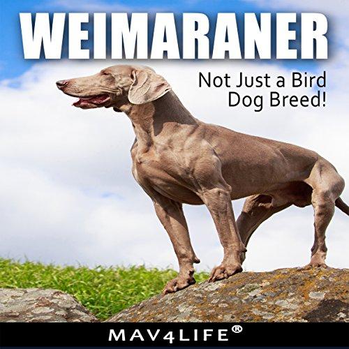 weimaraner-not-just-a-bird-dog-breed