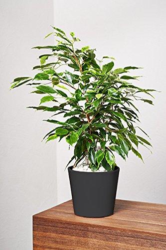 EVRGREEN Birkenfeige | Ficus Benjamini | Zimmerpflanze in Hydrokultur | im Set inkl. Keramiktopf (anthrazit/schwarz) | ficus benjamina anastasia