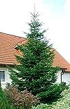 Nordmann-Tanne - Abies nordmanniana – Weihnachtsbaum Tannenbaum Container-Pflanze Immergrün Winterhart – Tannen von Garten Schlüter - Pflanzen in Top Qualität