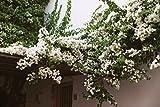 #9: Rare White Climbing Bougainvillea Amazing Beautiful bougainvillea ( 1 Healthy Small Live Plant )