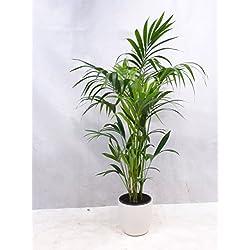 [Palmenlager] - Howea forsteriana - Kentia Palme 160 cm - 5 Stämme - // Zimmerpflanze