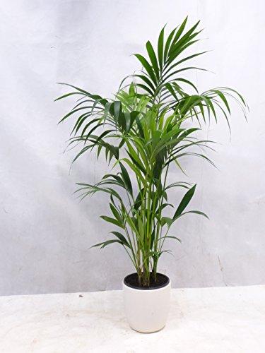 [Palmenlager] - Howea forsteriana - Kentia Palme 170 cm - 5 Stämme - dichter Wuchs // Zimmerpflanze