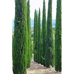 Mittelmeer Zypresse Cupressus sempervirens Säulenzypresse 100 Samen Bonsai geeignet