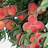 Pfirsichbaum Flamingo, sehr frostharter Pfirsich, Blüte bis - 8 Grad Buschbaum 120-150 cm 10 L....
