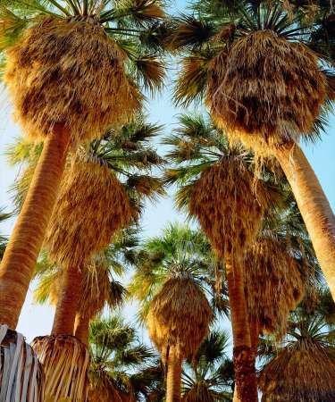 Fine Art Print–California, parc d'Desert ventilateur palmiers par Danita Delimont photos, 30 x 36