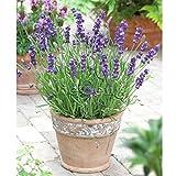 Shopmeeko SEEDS: Englisch Lavendel * 1 Gramm 900 & # 39; s (PC) * Lavandula angustifolia * Lavendel * Staude * Blume Strauch * Hecken Hütte: 5 g