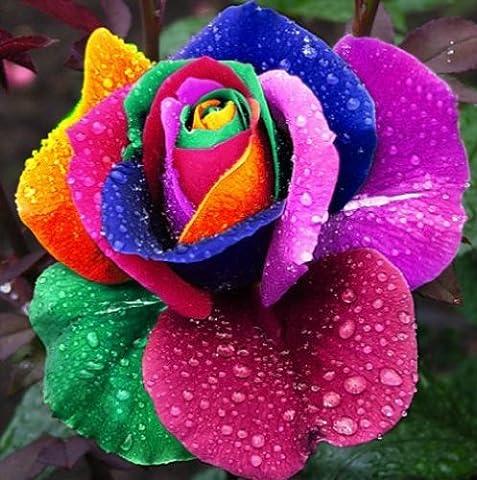 100 Samen Seltene Holland Regenbogen-Rosen Samen Blumen-Liebhaber bunte Hausgarten-Pflanzen seltene Regenbogen stieg Blumensamen