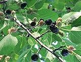 Schwarze Maulbeere Morus nigra Pflanze 55-60cm Maulbeerbaum Obstbaum Obstpflanze