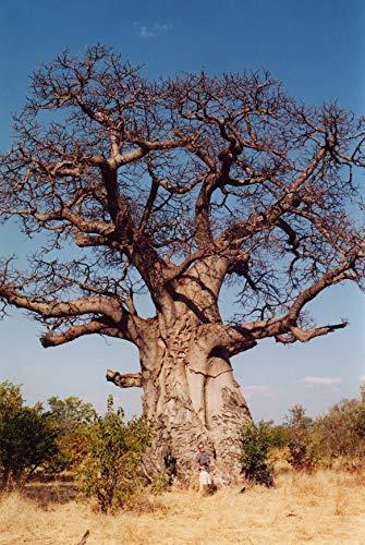 Asklepios-seeds® - 50 Semillas de Adansonia digitata Baobab, árbol del pan del mono