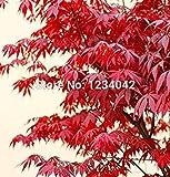 10PC amerikanischen Bonsai roten Ahornsamen, Ahorn-Blätter, Bäume, schöne Bonsai