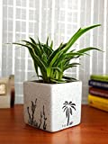 Rolling Nature Air Purifying Spider Plant in White Square Aroez Ceramic Pot