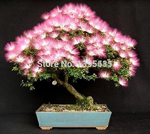 bonsaï populaire arbre graines 1 Albizia graines d'arbres et 1.99 20 rouge arbre d'érable japonais seulement $