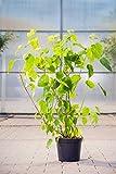 Ballhortensie Annabelle 30-40 cm Strauch für Sonne-Halbschatten Zierstrauch weiß blühend Gartenpflanze winterhart 1 Pflanze im Topf