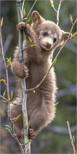 Posterlounge Acrylglasbild 90 x 180 cm: A Black Bear cub, Ursus americanus, Looks down from a small Tree von Barrett Hedges/National Geographic - Wandbild, Acryl Glasbild, Druck auf Acryl Glas Bild