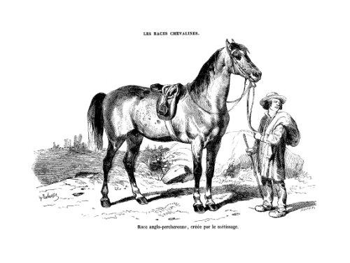 Les races chevalines - Gravure Cheval race Anglo-Percheronne par Lavauzelle