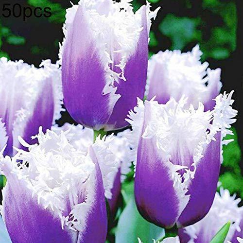 obiqngwi 50pcs semi di tulipano facile da coltivare giardino balcone bonsai profumo fiore pianta perenne purple tulip seeds