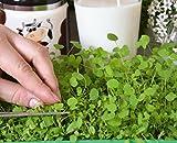 Microgreens - Alfalfa - hojas jóvenes con un sabor excepcional - semillas