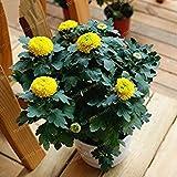 Fash Lady 100 Stücke Pompon Mama Samen Schöne Bonsai Blumensamen Hause Töpfe Beliebte Afrika Chrysantheme Dendranthema Morifolium Samen 5