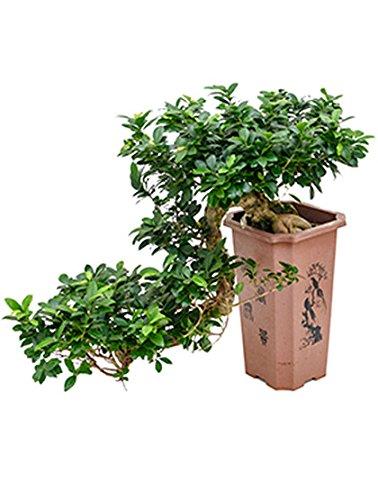Ginseng Bonsai besondere Zimmerpflanze für hellen Standort Ficus microcarpa compacta 1 Pflanze 60-80 cm im 27/27/43 cm Topf von Redwood