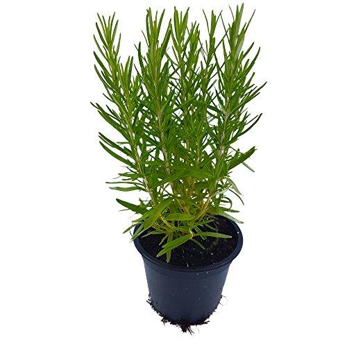 Rosmarin - kräftige Rosmarin-Pflanze im Topf in bester Gärtnerqualität (Rosmarin)