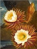 Posterlounge Alu Dibond 30 x 40 cm: Königin der Nacht, weiß blühende Pflanze von Robert John Thornton/Bridgeman Images