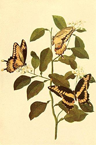 Mary E. Walker - Butterflies Worth Knowing 1923 Giant Swallowtails Kunstdruck (60,96 x 91,44 cm)