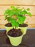 Ginkgo biloba Pflanze Heil Pflanze 1stk.