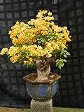 #10: M-Tech Gardens Rare Yellow Dwarf Bougainvillea Amazing Beautiful Bougainvillea ( 1 Healthy Small Live Plant )