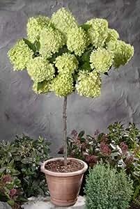 Rispenhortensie Lime Light® als Stämmchen, ca. 20 cm Krone 60cm Stamm, 3 L Topf