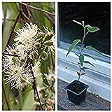 Eucalyptus Citrionida, Zitronen-Eucalyptus, Zitronen Duft für Ihre Wohnung, 1 Pflanze 20 cm Geamthöhe inkl Topf