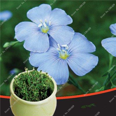 Bleu Fleur de Lin Graine vivace Fleur Graine Quatre Saisons Fleur plantes ornementales tropicales en plein air Bonsai Lin Semilla 100 Pcs 3