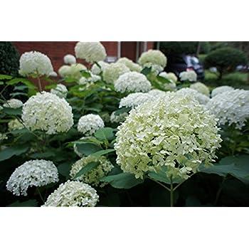Hydrangea Arborescens \'Annabelle\' In 2L Pot, Stunning White ...