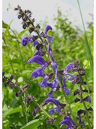 Salvia Pratensis Wiesensalbei 10g