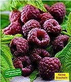 BALDUR-Garten Schwarze Himbeere'Glenn Coe' 1 Pflanze Rubus idaeus Himbeerpflanze