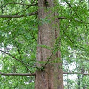 Metasequoia glyptostroboides (Mammoth Tree) seeds