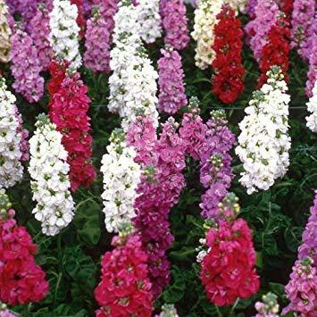 Shoppy Star Shoppy étoiles: 100 Stock Nain Fleurs semences, mélange parfumé, blanc, rose, rouge, bleu clair et foncé