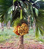 #2: Creative Farmer Tree Seeds Dwarf Betel Nut Palm Areca Catechu Ready To Seeds For Tree All Season Seeds Kitchen Garden Seeds Pack