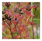 Drosera stolonifera - Fleischfressende Pflanze - Sonnentau - 20 Samen