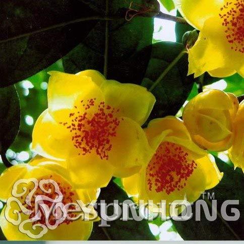 pinkdose giallo oro rare 50pcs bonsai della camelia nitidissima, magico orientali bonsai giallo camellia arbusto, theaceae famiglia di impianti: 4