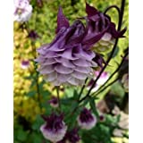 Semillas Europea Columbine Aquilegia vulgaris bonsai semillas de flores raras para el jardín de plantas perennes. 100seeds me