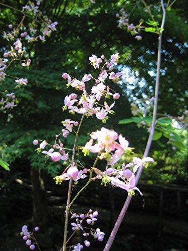Prächtige Wiesenraute, Thalictrum rochebrunianum im 9cm Topf