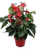 Anthurie, Anthurium andreanum dark red, ca. 60 cm, blühende Zimmerpflanze, 21 cm Topf