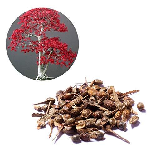 Maple Tree (Acecoree Samenhaus Mehrjährige Red Maple Tree Seeds Landschaft Pflanzensamen Blumensamen)