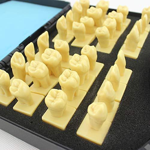 FXQ Anatomisches Modell der Zähne, 32 PCS Superior 3-Fach Gingiva Carving Tooth Study Modell Carving Tooth Comparison Referenzmodelle für die Patientenaufklärung -