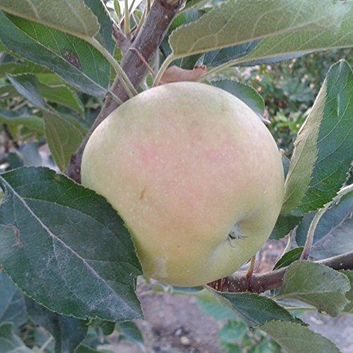 Manzano - Manzana verde/amarilla - Maceta 26cm. - Altura aprox. 1'20m. - Planta viva - (Envíos sólo a Península)
