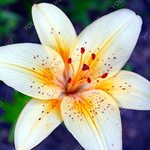 100 pcs parfum bon marché Lily Graines Bonsai mélange différentes variétés Rouge Blanc Jaune Rose Violet Lily Flower Garden usine Brown