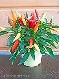 Naschzipfel Capsicum annuum Chili Pflanzen 1stk.