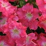 Shoopy Star Annuali * Petunia Dreams * Coral Morn !!30 semi-pallinati