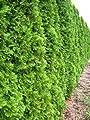 Smaragd Lebensbaum Thuja occidentalis Smaragd 40 - 50 cm hoch im 2 Liter Pflanzcontainer von Plantenwelt Wiesmoor bei Du und dein Garten